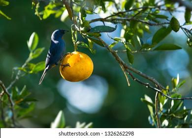 Jamaican Orangequit bird feeding on oranges in the orchard