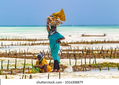 Jambiani, Zanzibar, Tanzania - January 19, 2018: Woman harvesting sea weed on a sea plantation in traditional dress.
