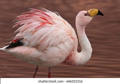 James Flamingo (Phoenicoparrus jamesi) at Laguna Colorada (Bolivia)