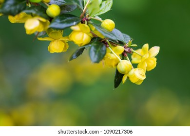 James's barberry, Berberis jamesiana, selective focus on bush branch with yellow flowers. Shallow depth of field macro shot with text space on the bottom