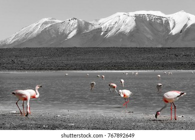 James's flamingos  on the background of the Alpine lakes and the snow-capped volcano in the Bolivian Andes. Also known as the puna flamingo. Black and white color