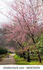 Jan 2017 Chiangmai Thailand : In winter season Himalayan pink blossom in Northern of Thailand nationnal park.