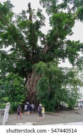 Jan1 , 2017 millennium tree in baler, Philippines