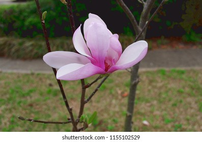 Jane Magnolia Tree with a beautiful blossom in Springtime