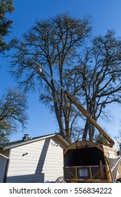 January 3, 2017. Eugene, Oregon, USA.  A tree service worker in lift bucket inspects an old oak tree damaged in a severe ice storm.