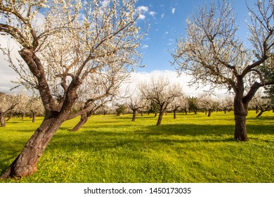 In January the almond blossom begins on Mallorca