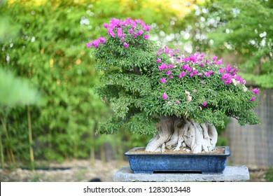 Japan bonsai in garden
