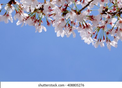 Japan cherry blossom with clear blue sky with copy space