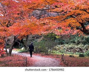 Japan –13 Dec,2019 : Traveler walking relax under autumn leaves ,red momiji (maple tree) in Shinjuku Gyeon Park.