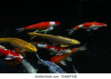 Japan fish call Carp or Koi fish colorful swimming in the pond