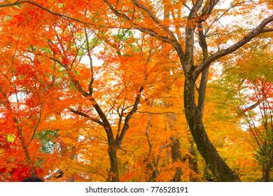 Japan garden autumn maple leaf vivid red orange yellow park foliage