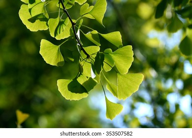 Japan, Ginkgo biloba green leaf on tree also see this plant in China and Korea