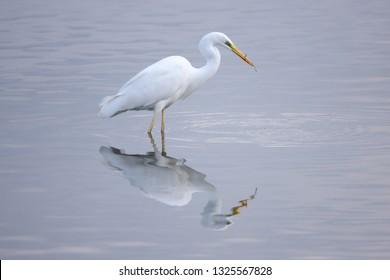 japan heron predation