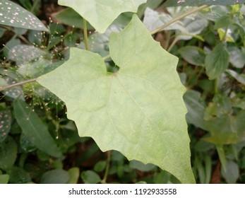 Japan hlo plant in Mizoram, India. (Medicinal plant)