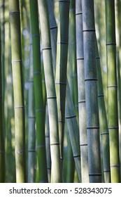 Japan, Kyoto, bamboo grove, close-up