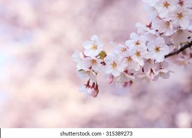 Japan, Kyoto, sakura