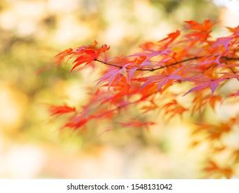 ボードに保存 Japan Maple Leafs in autumn