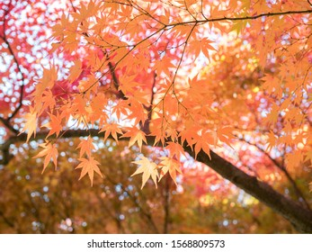 Japan Maple Leaves in autumn