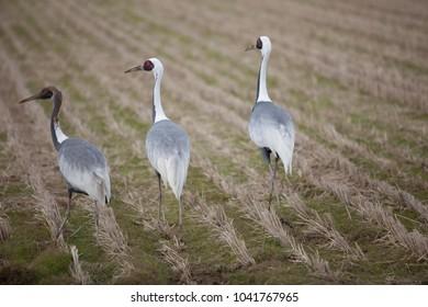 Japan of migratory Crane birds