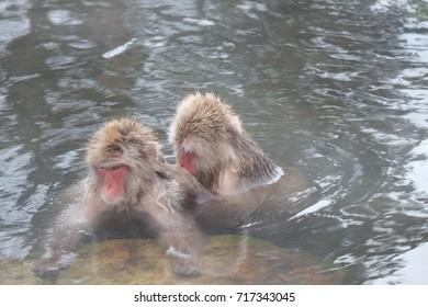 Japan Nagano Prefecture Jigokudani Monkey Park's Japanese Ape