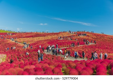 Japan - October 18, 2014 :  Unidentified people visiting the Hitachi Seaside Park  in Ibaralki,Japan.The spacious public park that has  beautiful autumn colors of Bassia scoparia and Cosmos.