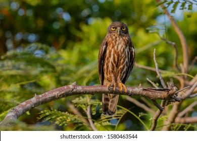 Japan Okinawa Brown Hawk owl