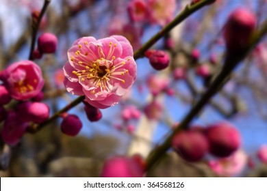 Japan pink plum blossom flower macro closeup, Japenese plum  blooming