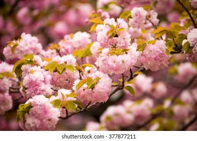 Japan Sakura ,Beautiful pink cherry blossom (sakura) in japan