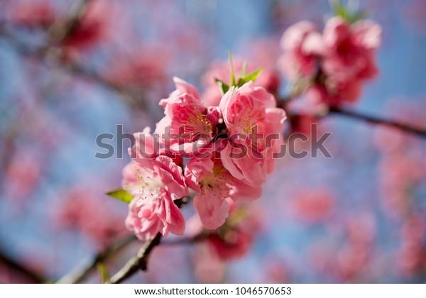 Japan Sakura cherry blossom Kawazu-zakura