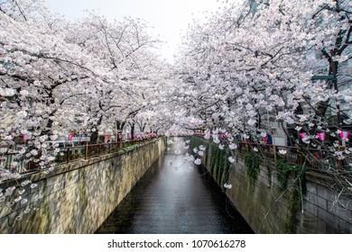 Japan Tokyo Nakameguro Sakura cherry blossom