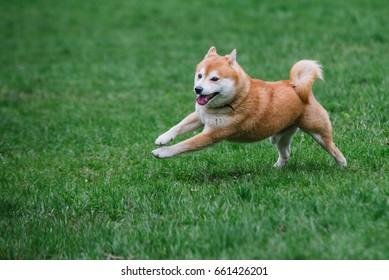 Japanease dog shiba inu running on the grass