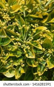 Japanes spindle Marieke - Latin name - Euonymus japonicus Marieke