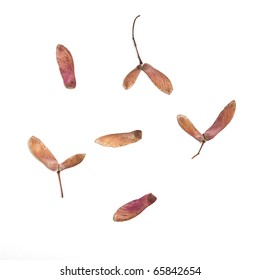 japanese Acer winged seed pods isolated on white background.