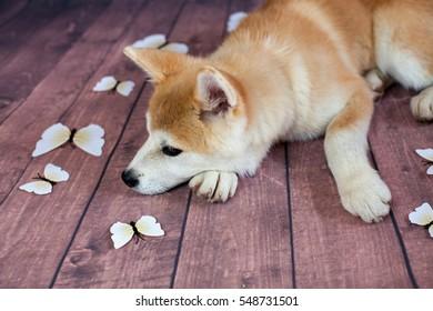 Japanese Akita Dog Resting On The Floor