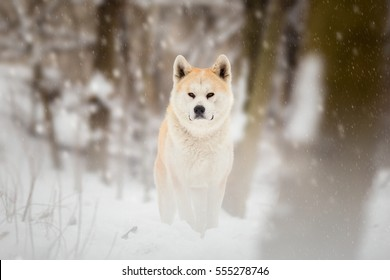 Japanese Akita Inu Dog Winter Portrait