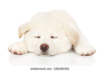 Japanese Akita inu puppy sleep in front of white background. Baby animal theme