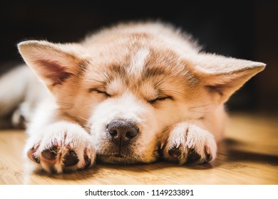 Japanese Akita Inu puppy, white and red dog close up