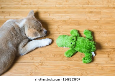 Japanese Akita Inu puppy, white and red dog close up near a toy