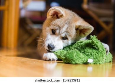 Japanese Akita Inu puppy, white and red dog close up chewing a toy