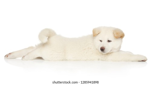 Japanese Akita puppy resting on white background. Animal themes, side view