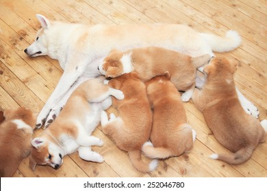 Japanese akita-inu breed mother with two months old  puppies