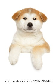 Japanese Akita-inu puppy above banner, isolated on white background