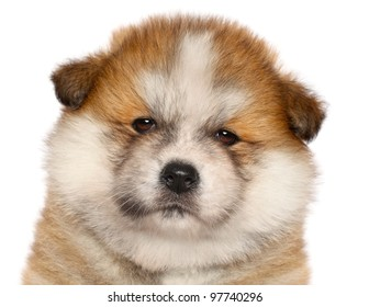 Japanese Akita-inu puppy close-up portrait on a white background