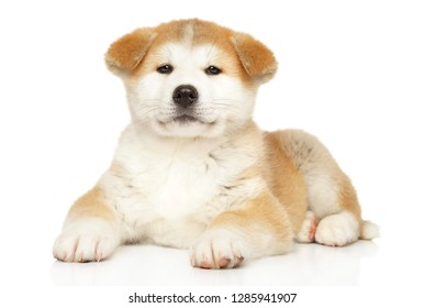 Japanese Akita-inu puppy graceful lying on white background