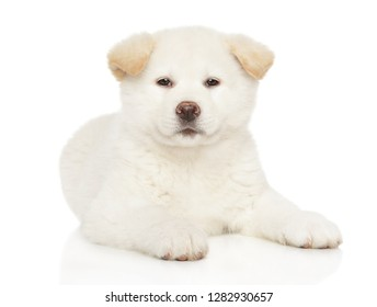Japanese Akita-inu puppy on white background. Baby animal theme, front view