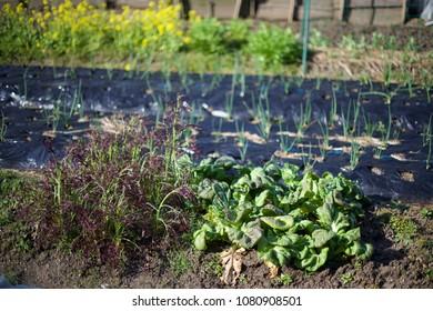 Japanese allotment garden in fall of Kobe