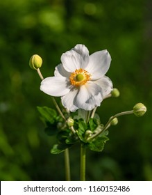 Japanese anemone (Anemone hupehensis) flower. Garden plant in the family Ranunculaceae, aka Chinese anemone, thimbleweed or windflower.