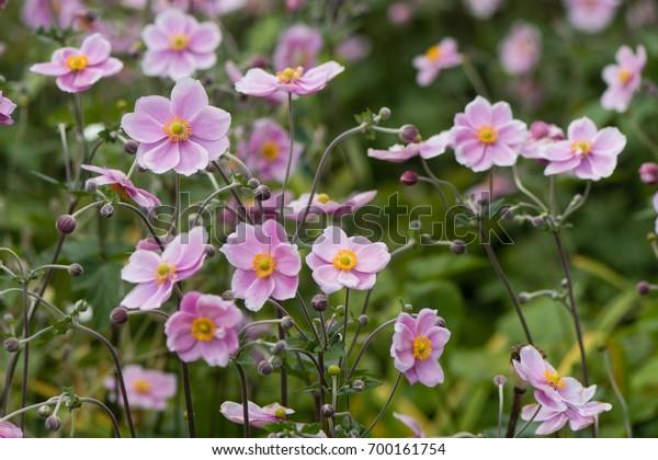 Japanese Anemone Anemone Hupehensis Flower Pink Stock Photo Edit