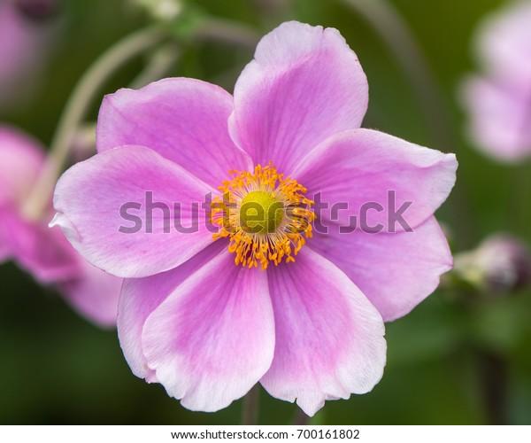 Flor De Anemona Japonesa Anemone Hupehensis Foto De Stock