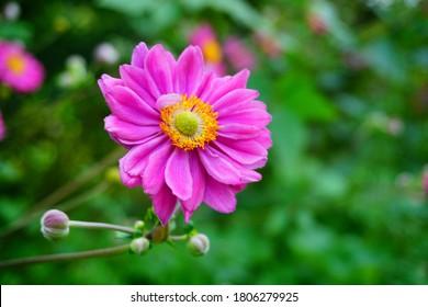Japanese anemone ,Anemone hupehensis - Anemone hybrida 'Pamina'